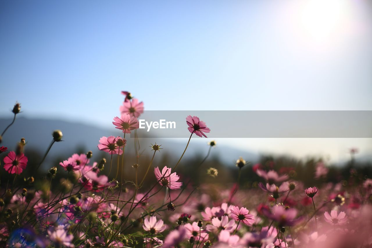 Close-Up Of Pink Cosmos Flower Against Sky