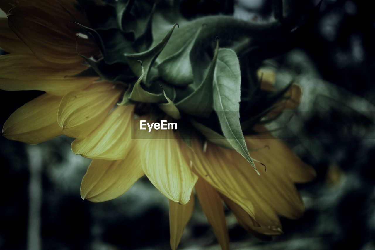 flower, flowering plant, plant, petal, freshness, close-up, vulnerability, fragility, beauty in nature, flower head, yellow, growth, inflorescence, no people, nature, selective focus, day, focus on foreground, outdoors, pollen, softness, sepal