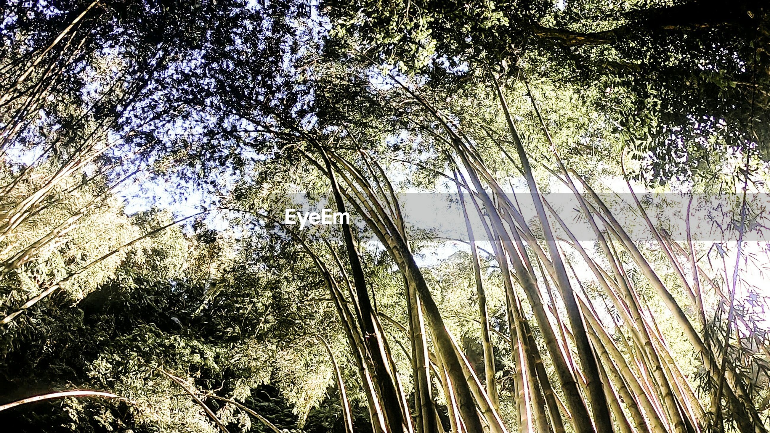 tree, plant, low angle view, tranquility, forest, land, growth, beauty in nature, tree trunk, trunk, no people, nature, day, tranquil scene, woodland, scenics - nature, sky, tall - high, tree canopy, non-urban scene, outdoors, bamboo - plant, directly below, coniferous tree, rainforest