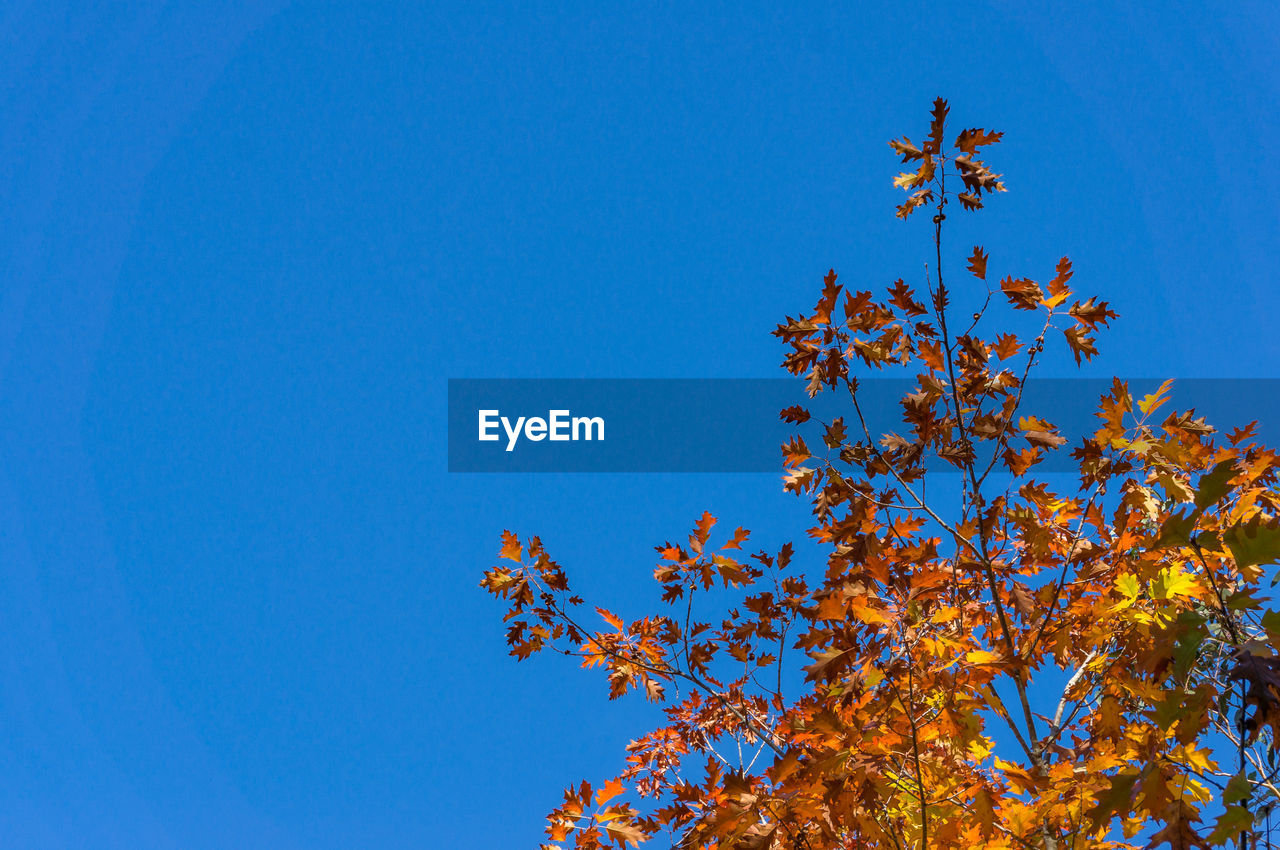 sky, low angle view, blue, clear sky, plant, beauty in nature, tree, growth, nature, copy space, autumn, no people, day, branch, leaf, plant part, change, flowering plant, outdoors, tranquility, maple leaf
