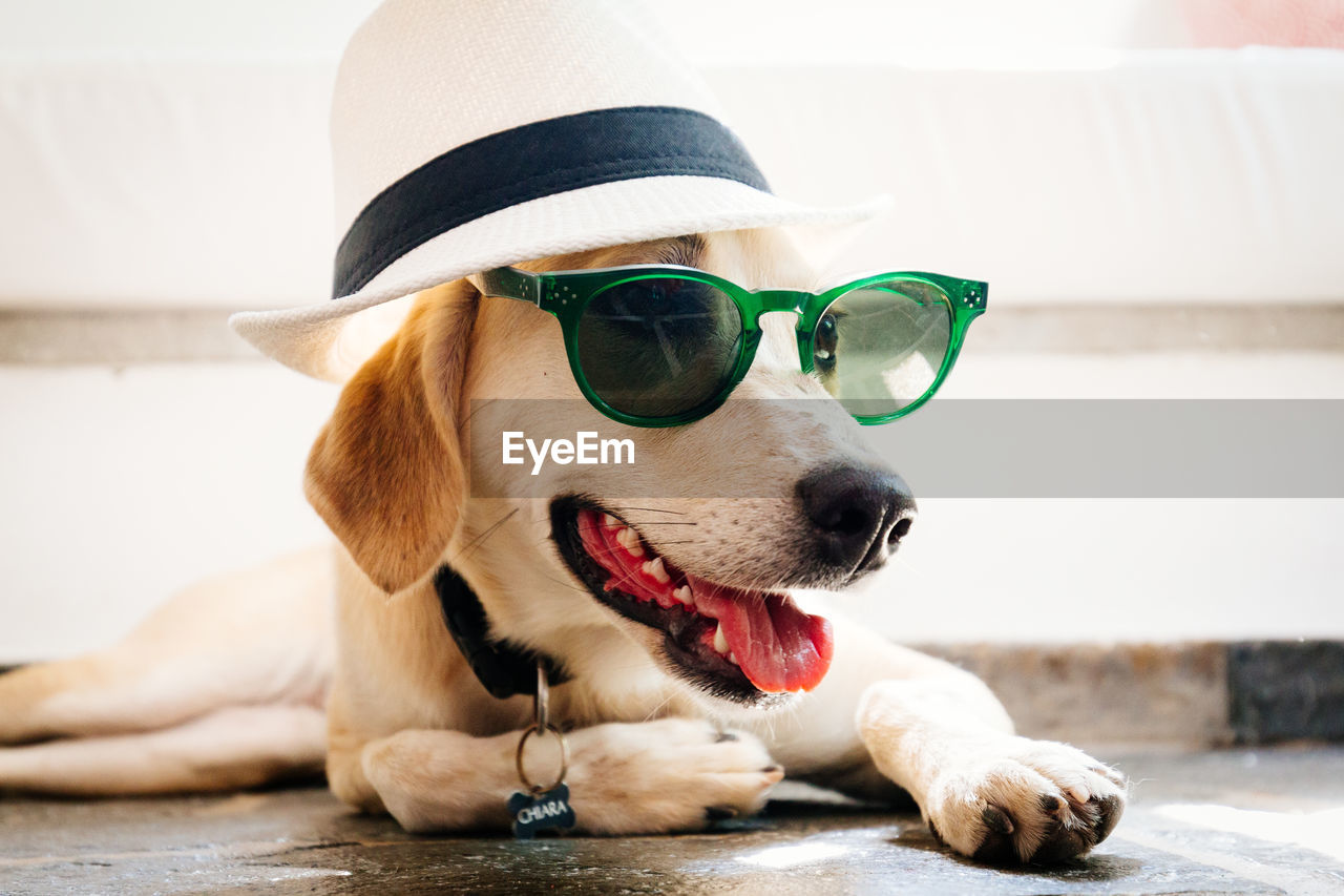 sunglasses, dog, pets, domestic animals, one animal, mammal, animal themes, focus on foreground, close-up, outdoors, no people, day