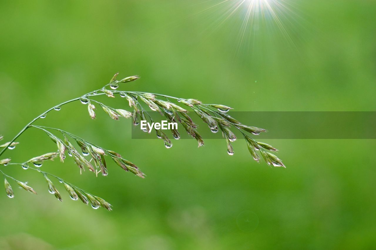 plant, growth, beauty in nature, focus on foreground, close-up, nature, day, no people, green color, tranquility, fragility, sunlight, selective focus, vulnerability, drop, outdoors, wet, water, plant part, coniferous tree, raindrop, dew