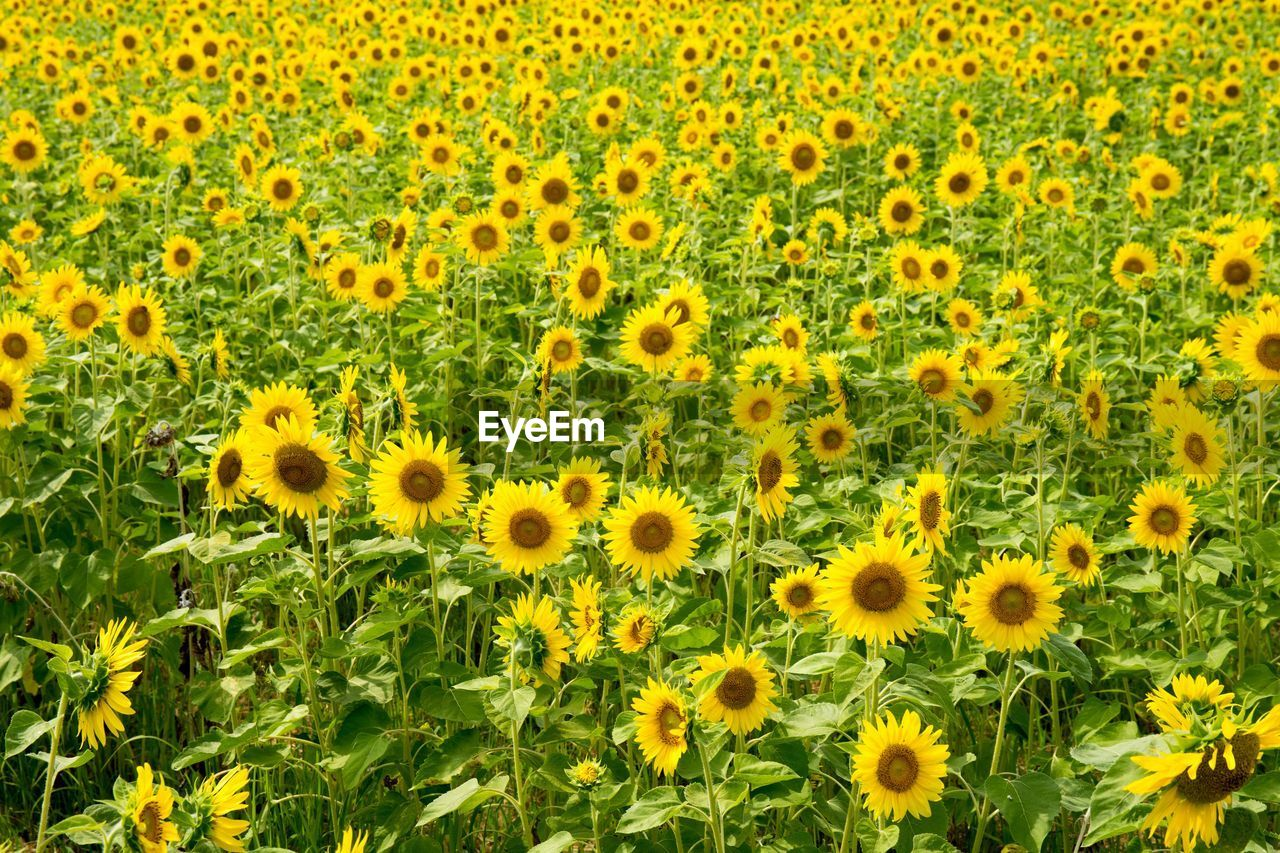 yellow, plant, flower, flowering plant, flower head, fragility, nature, freshness, growth, beauty in nature, vulnerability, inflorescence, sunflower, petal, no people, land, green color, environment, field, day, outdoors