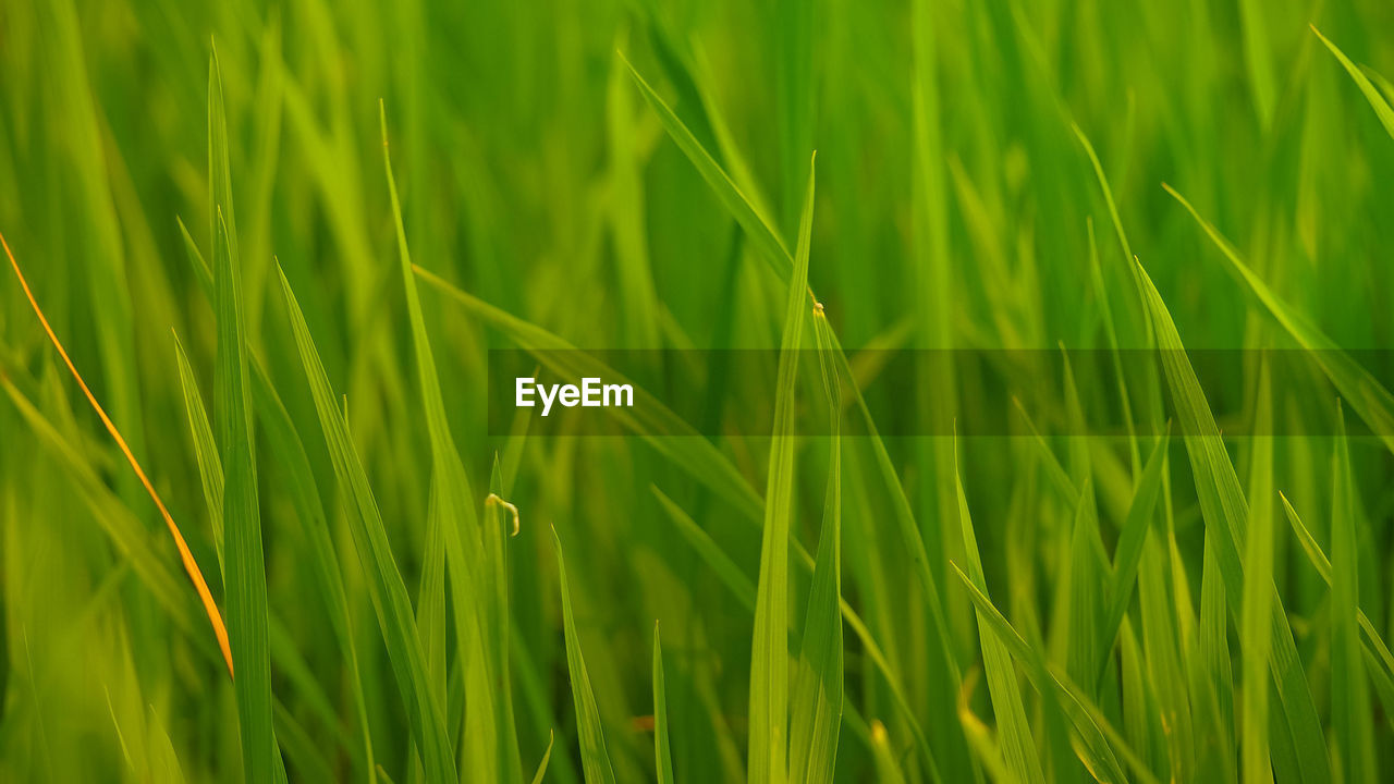 green color, plant, growth, beauty in nature, nature, field, full frame, grass, no people, land, close-up, agriculture, day, crop, selective focus, backgrounds, landscape, freshness, animal, farm, blade of grass, outdoors