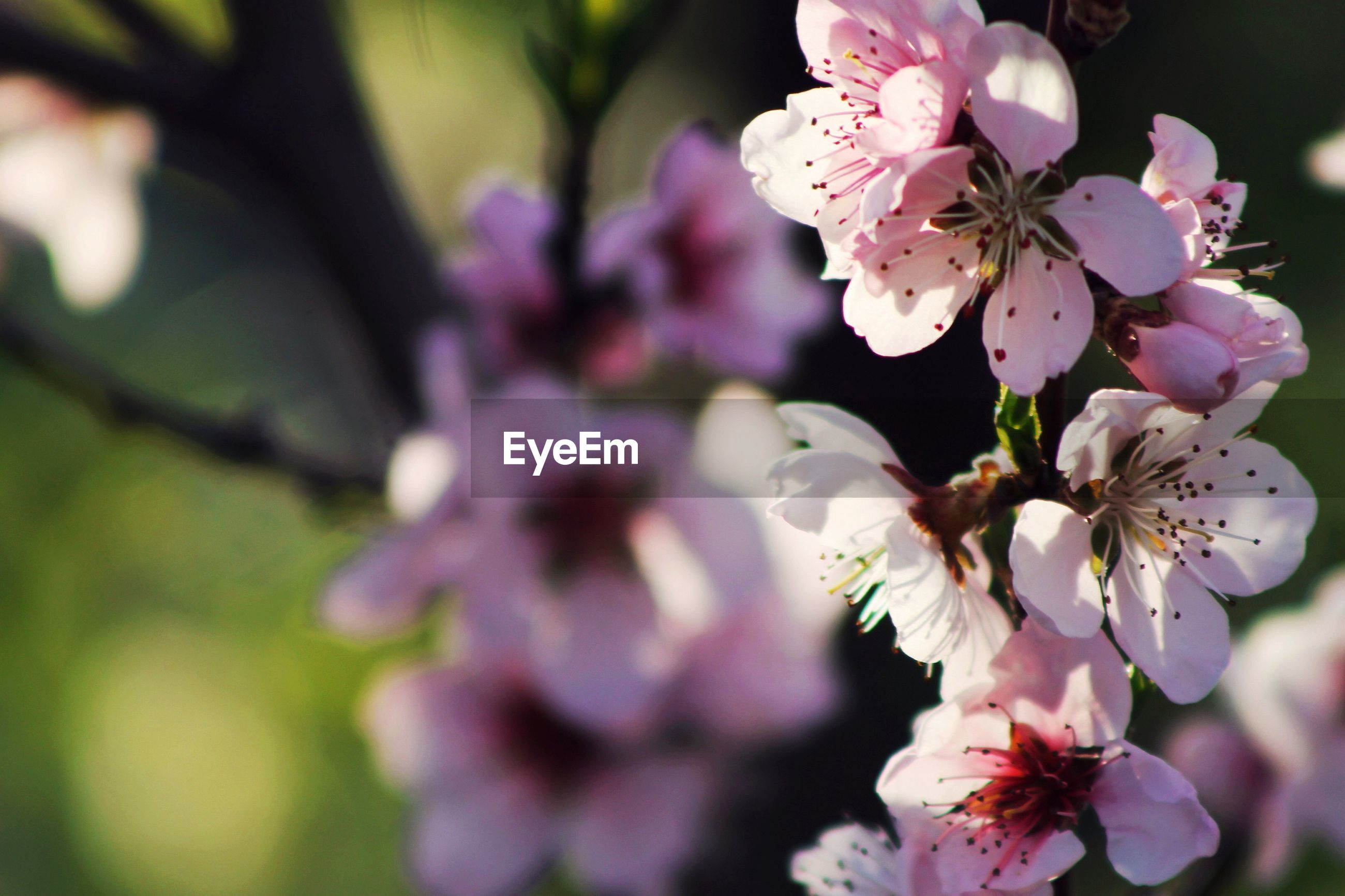 flower, freshness, fragility, growth, focus on foreground, beauty in nature, branch, close-up, petal, nature, cherry blossom, tree, cherry tree, blossom, pink color, in bloom, blooming, twig, flower head, springtime