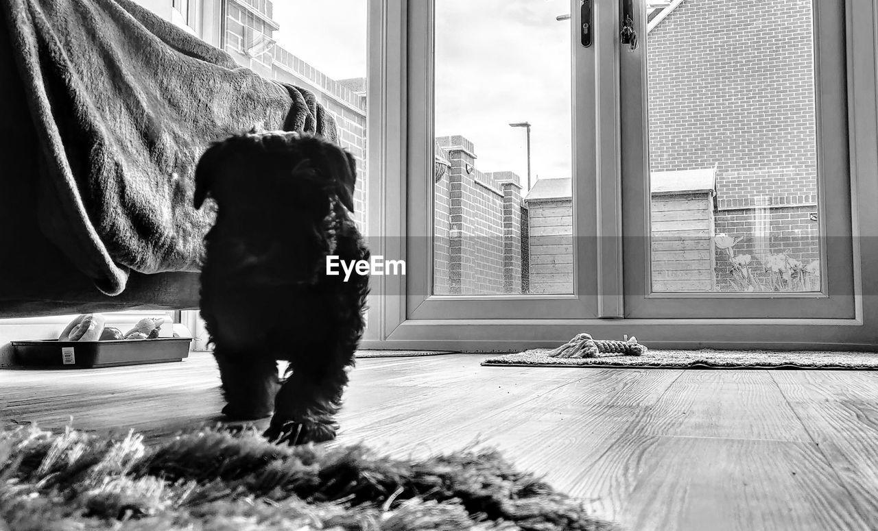 pets, mammal, domestic, domestic animals, window, one animal, canine, dog, animal themes, animal, indoors, flooring, hardwood floor, vertebrate, home interior, full length, no people, day, wood, looking, small