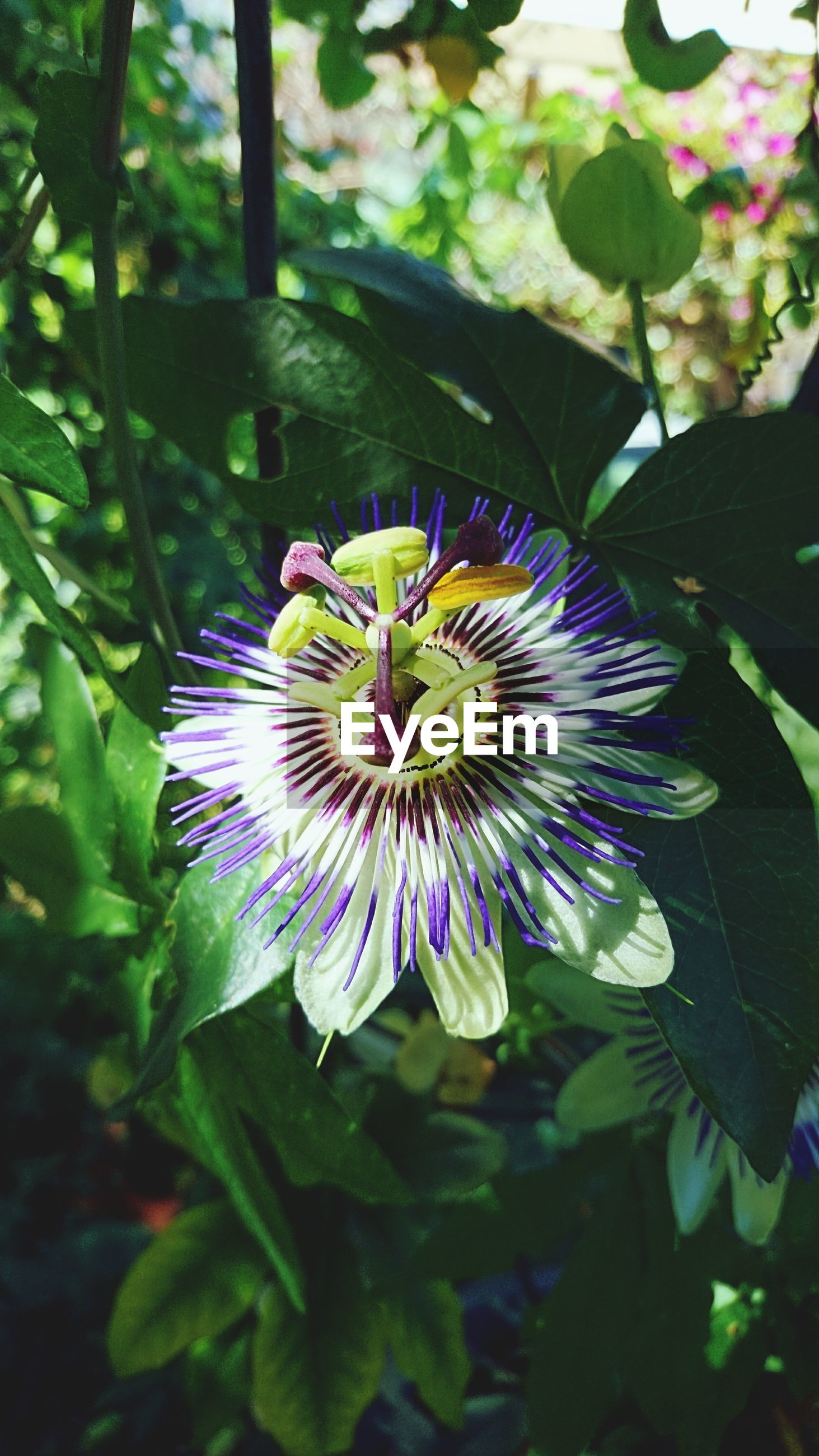 flower, petal, fragility, beauty in nature, growth, freshness, passion flower, flower head, nature, leaf, plant, day, pollen, no people, close-up, outdoors, blooming