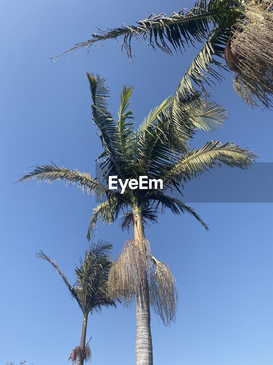 palm tree, tree, tropical climate, sky, plant, growth, low angle view, trunk, tree trunk, nature, no people, day, clear sky, beauty in nature, tranquility, blue, green color, outdoors, tall - high, coconut palm tree, palm leaf, tropical tree