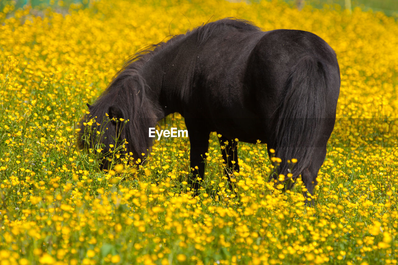 Black pony grazing at buttercup field