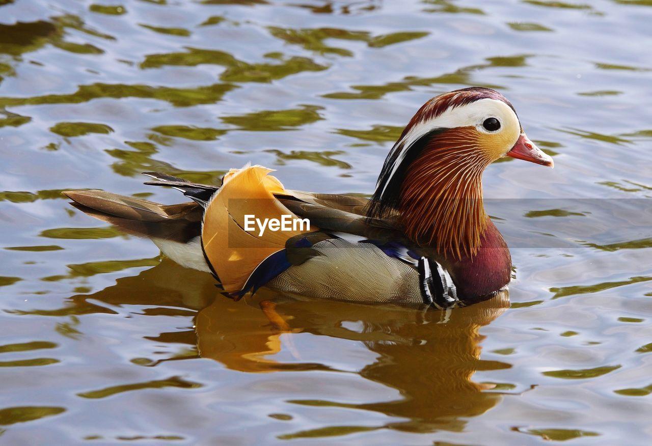 Mandarin Duck Swimming In Lake