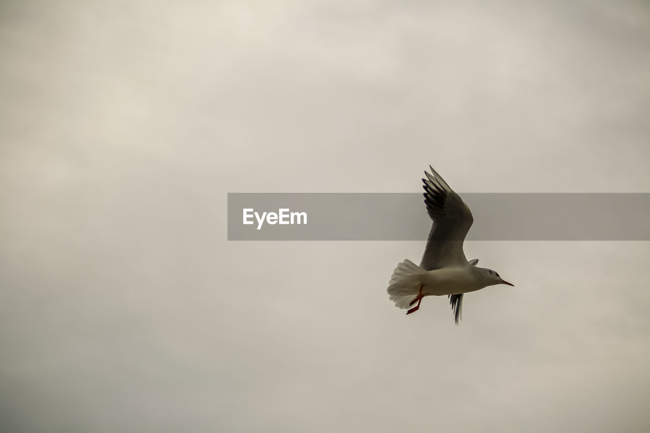 flying, animals in the wild, animal themes, bird, animal wildlife, vertebrate, animal, spread wings, one animal, mid-air, sky, motion, no people, seagull, nature, low angle view, day, beauty in nature, outdoors, cloud - sky