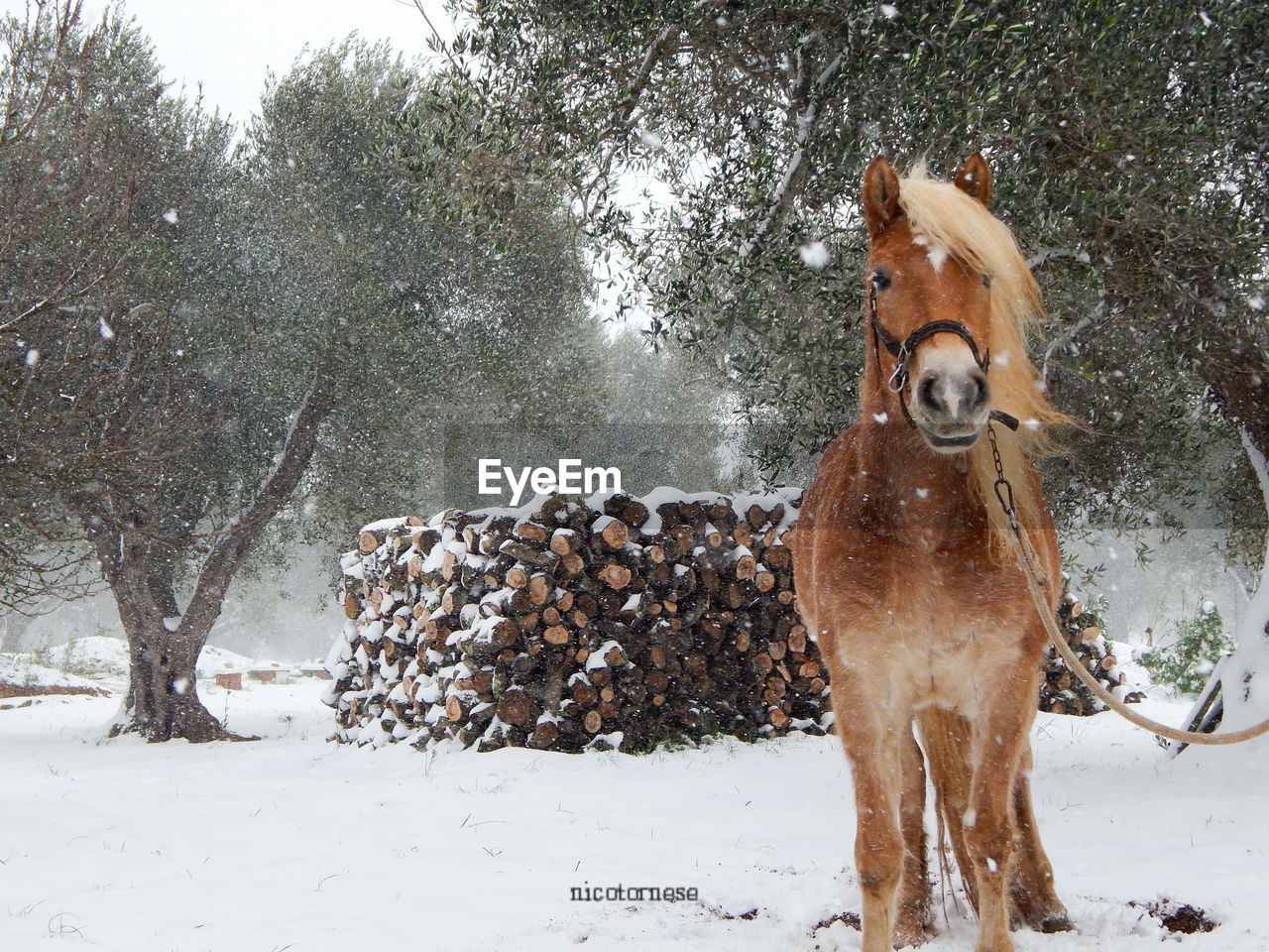 snow, winter, cold temperature, domestic animals, animal themes, weather, mammal, dog, field, outdoors, day, nature, pets, tree, one animal, no people, motion