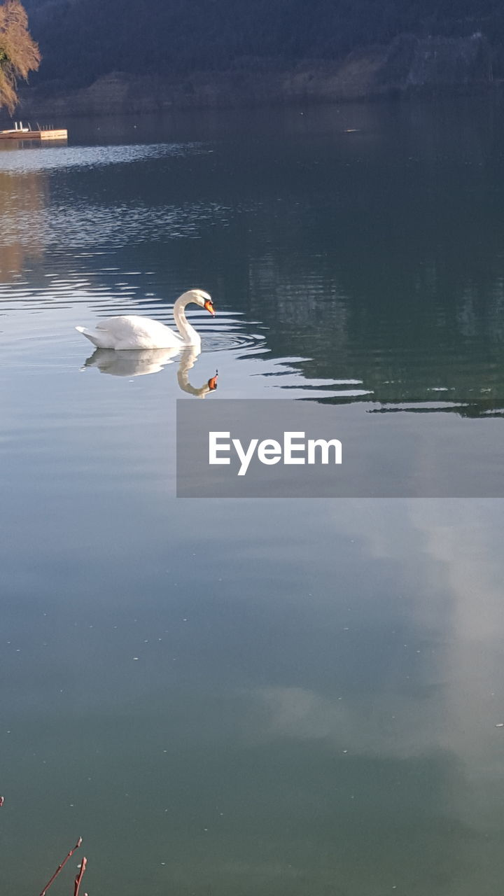 water, bird, animals in the wild, animal wildlife, animal themes, lake, vertebrate, animal, one animal, reflection, swimming, waterfront, nature, day, water bird, beauty in nature, no people, swan, outdoors