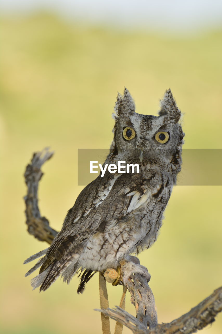animal, one animal, animals in the wild, animal themes, animal wildlife, vertebrate, bird, focus on foreground, close-up, no people, portrait, perching, bird of prey, nature, looking at camera, owl, day, outdoors, young animal, animal body part, animal eye, yellow eyes