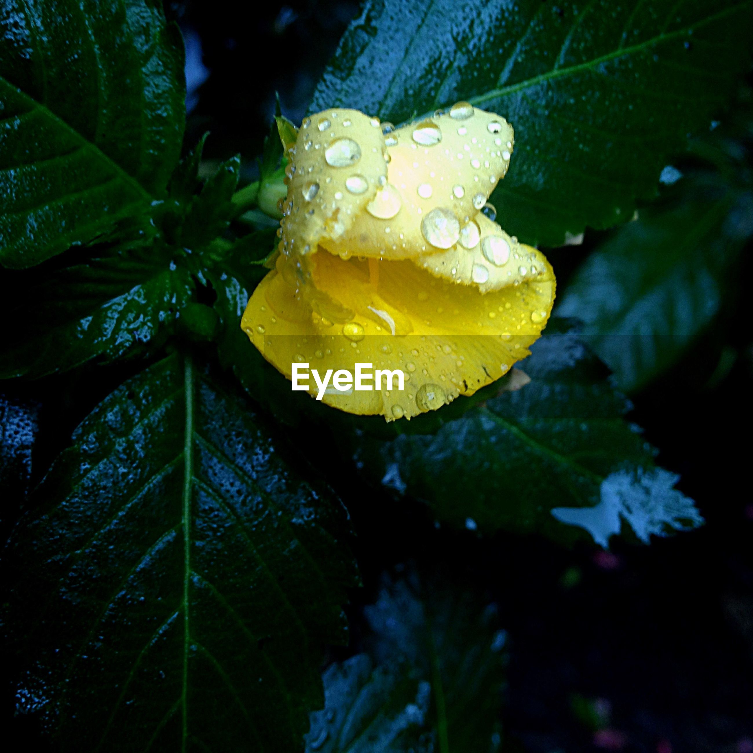 drop, water, freshness, wet, close-up, flower, fragility, growth, beauty in nature, petal, dew, nature, yellow, flower head, plant, single flower, raindrop, purity, focus on foreground, leaf