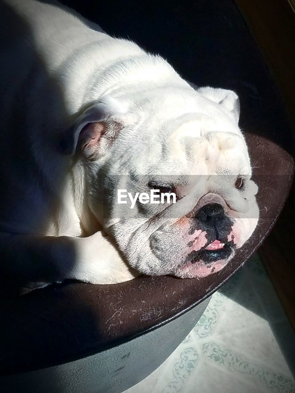 one animal, animal themes, animal, pets, mammal, domestic animals, vertebrate, dog, domestic, canine, no people, close-up, indoors, animal body part, relaxation, animal head, high angle view, day, english bulldog, sunlight, snout
