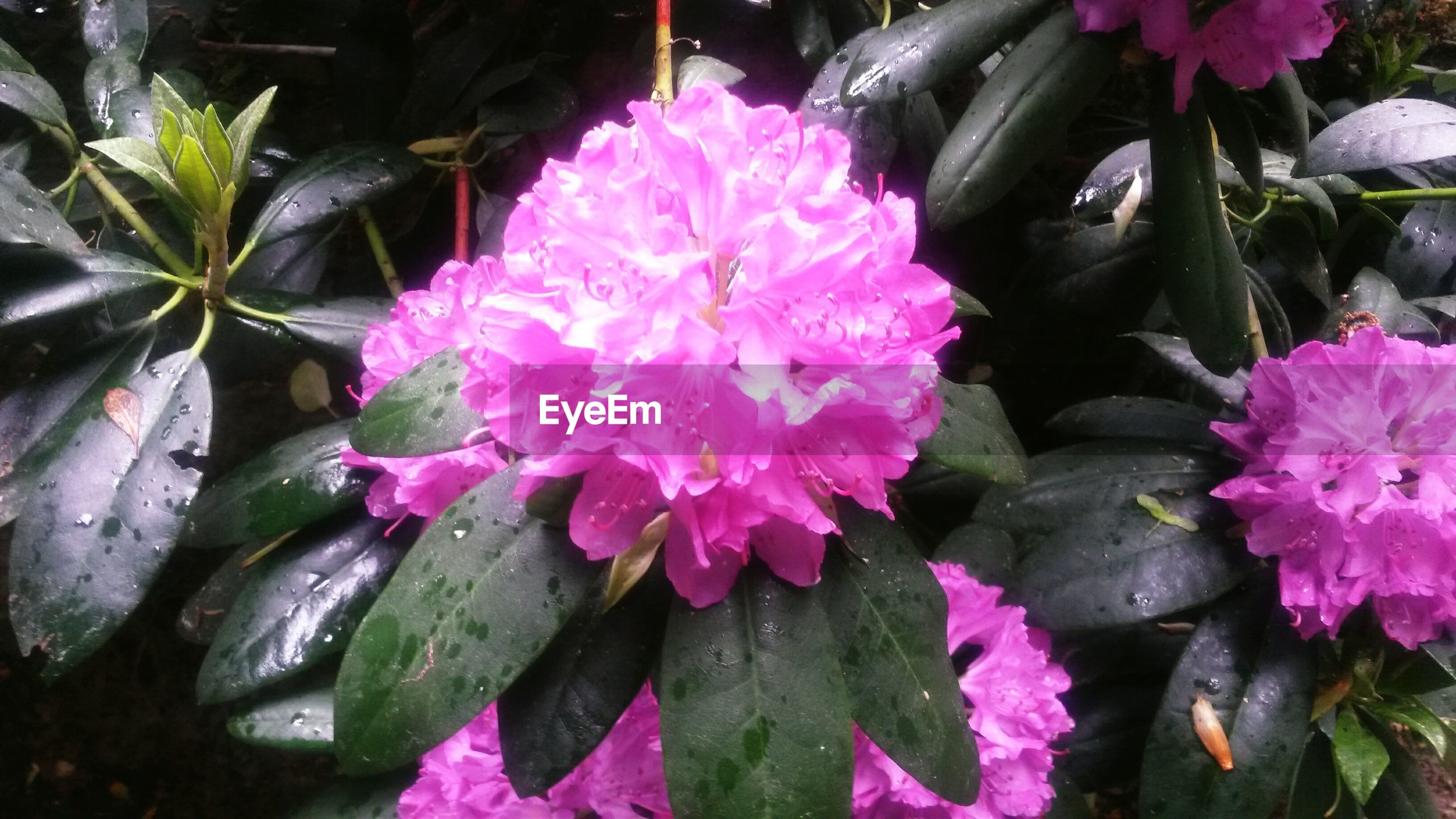 Pink flowers and wet leaves