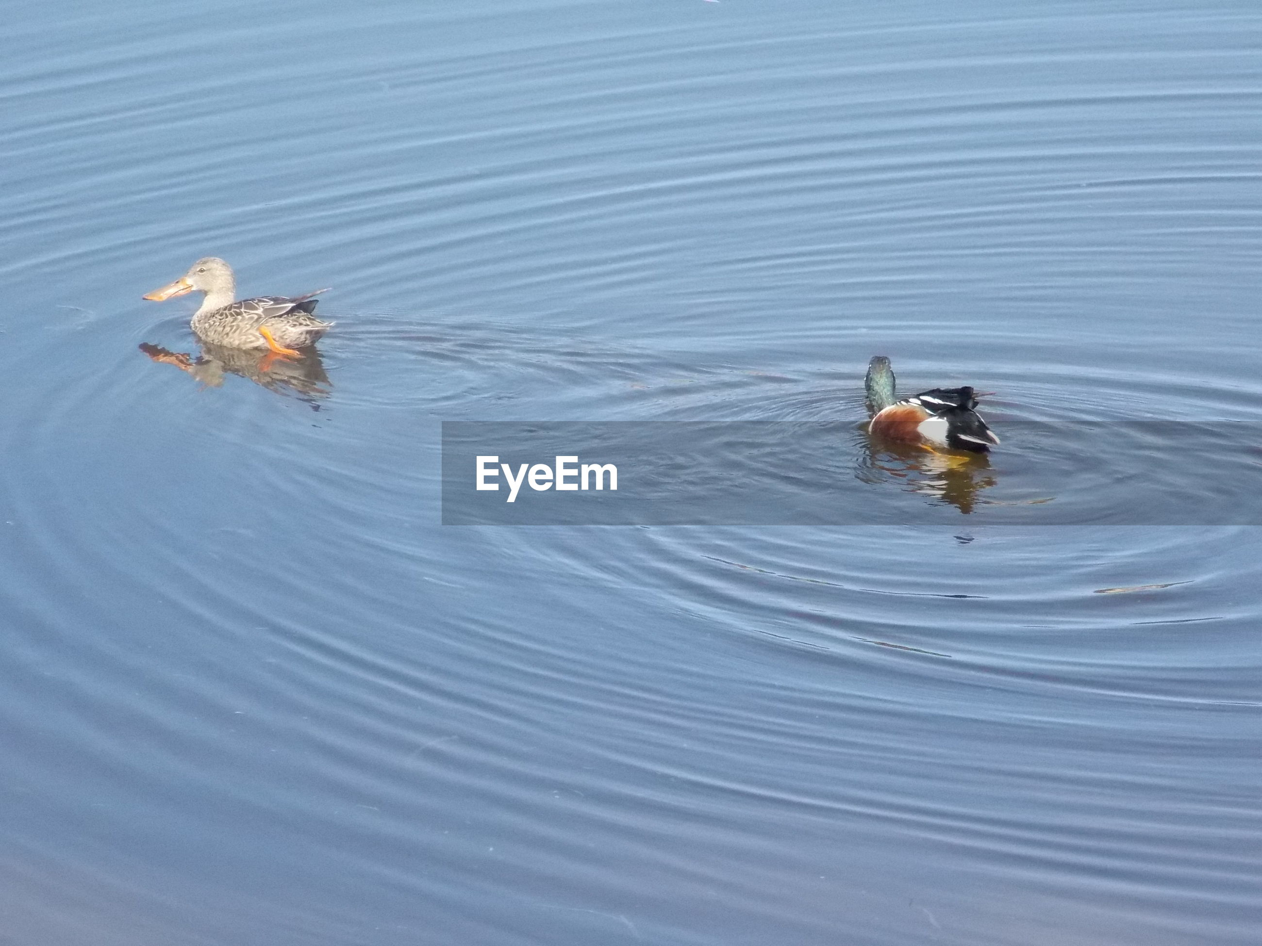 Two ducks floating on lake