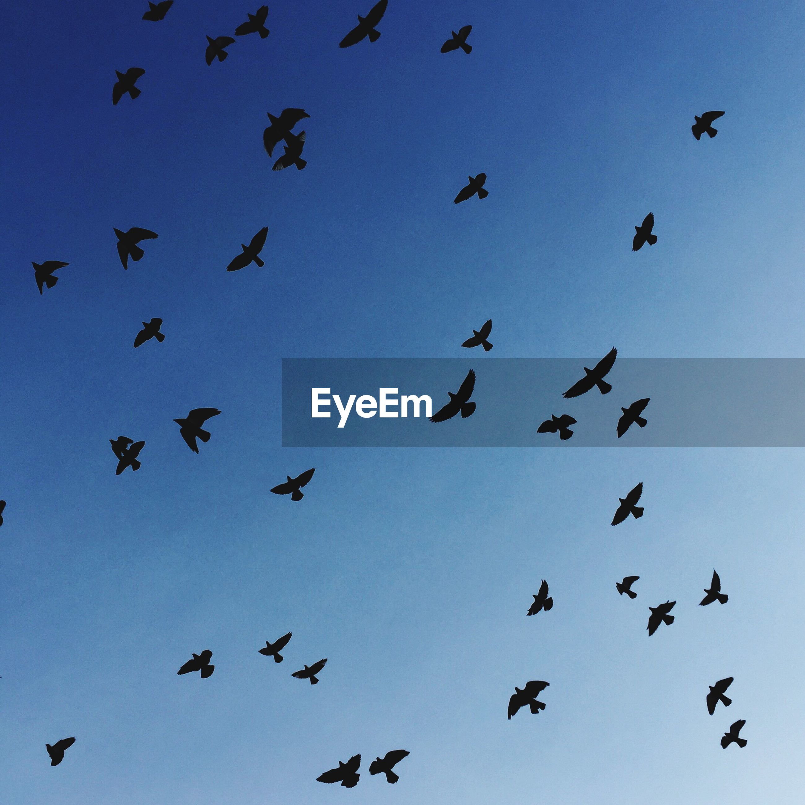 bird, flying, animal themes, animals in the wild, wildlife, flock of birds, low angle view, spread wings, sky, clear sky, mid-air, togetherness, silhouette, blue, nature, outdoors, freedom, medium group of animals, day