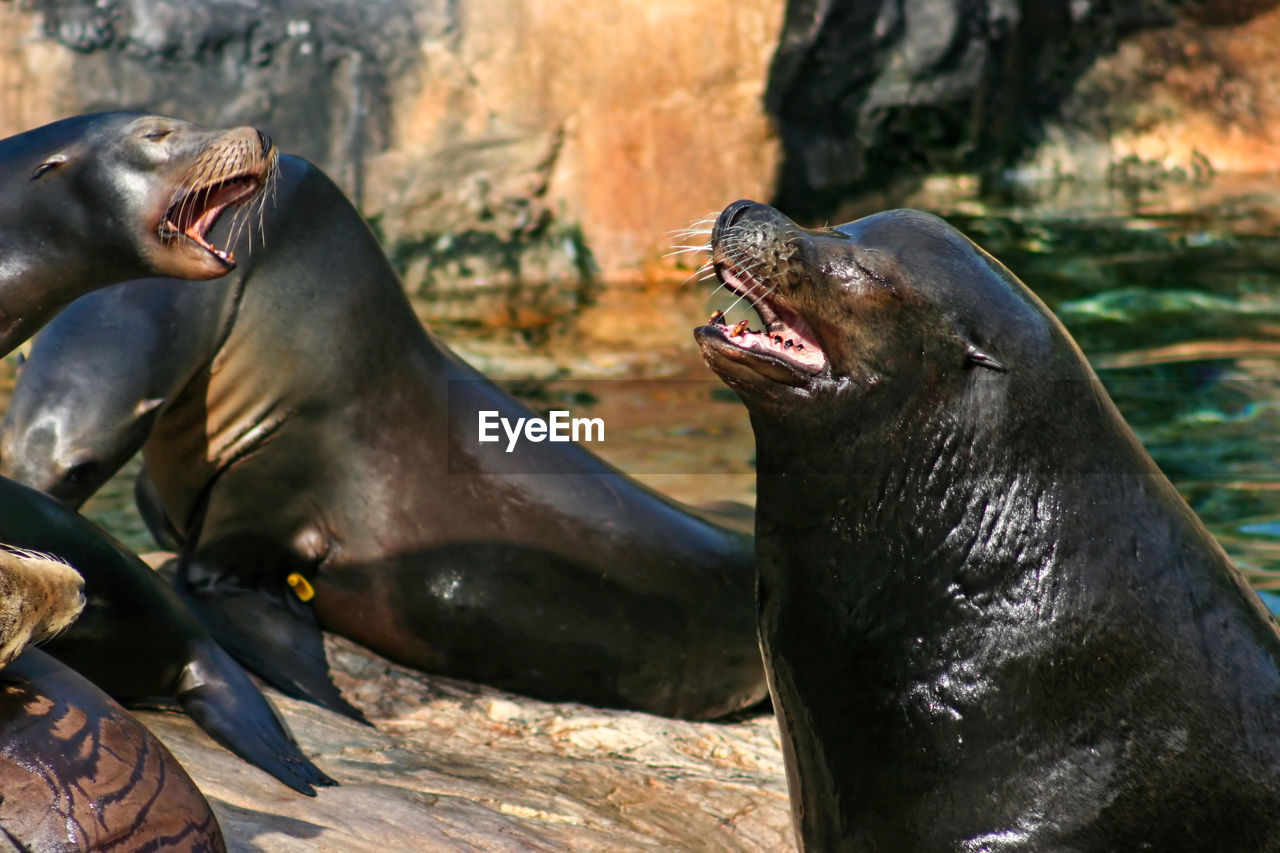 animals in the wild, animal wildlife, group of animals, animal, mouth, animal themes, mouth open, underwater, two animals, mammal, anger, vertebrate, aquatic mammal, nature, conflict, focus on foreground, day, no people, sea lion, aggression, marine, outdoors, seal - animal, animal head, animal mouth, animal teeth, confrontation
