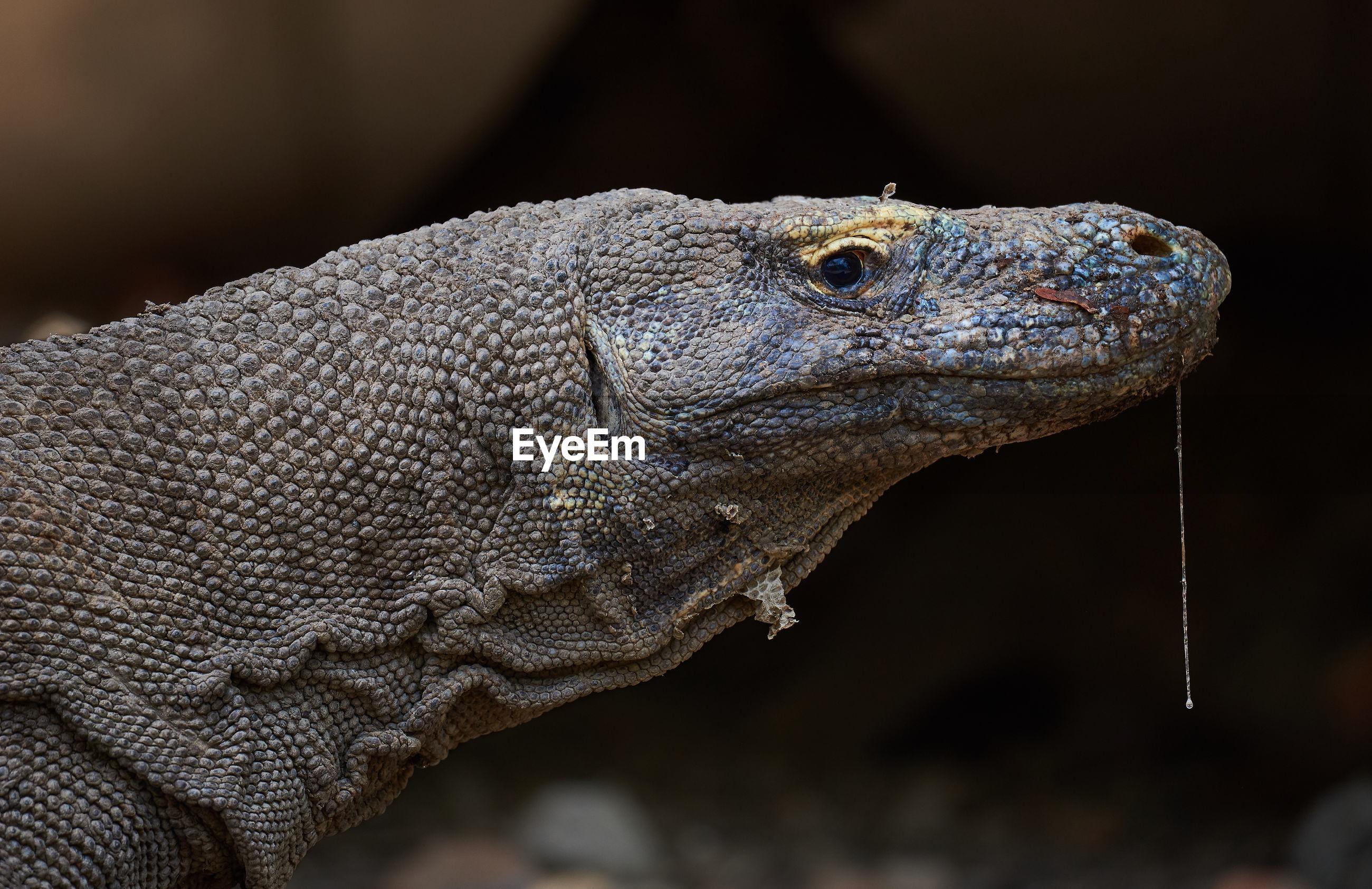 Komodo close-up