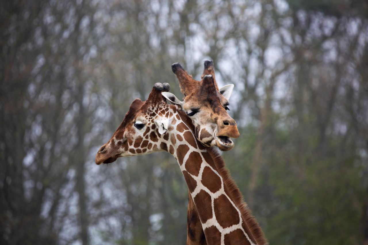 Close-up of giraffes embracing against trees in forest
