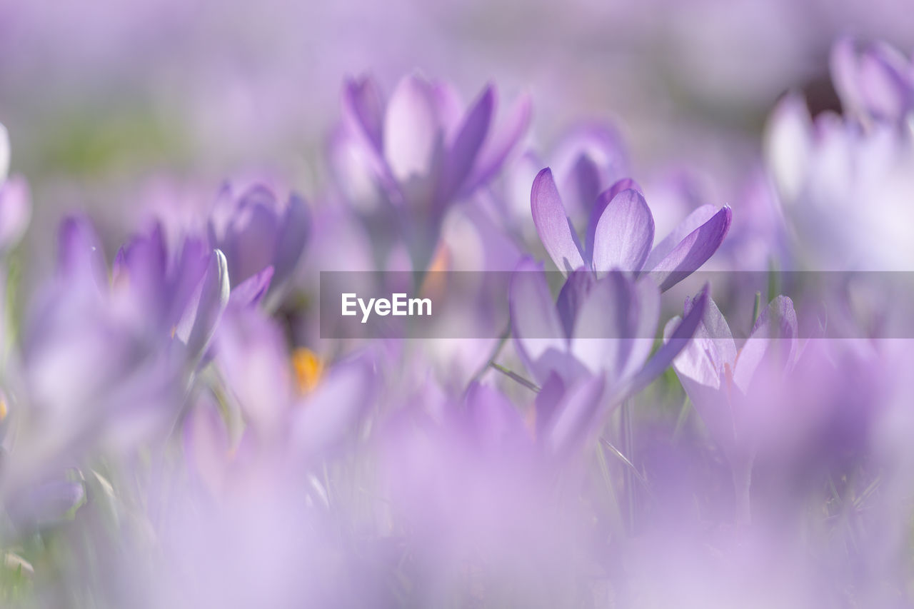 flower, flowering plant, vulnerability, beauty in nature, freshness, selective focus, fragility, plant, purple, close-up, petal, growth, no people, nature, flower head, inflorescence, day, outdoors, pink color, field
