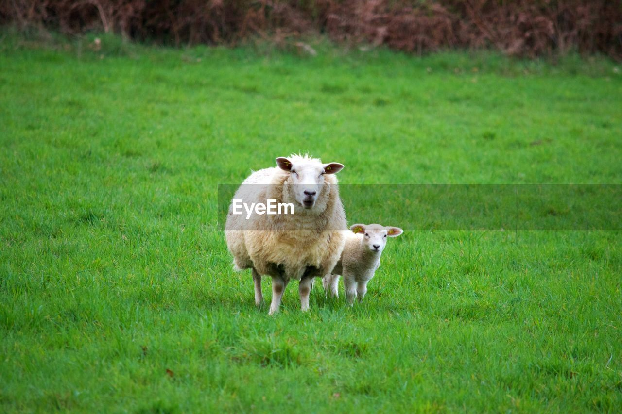grass, mammal, animal themes, plant, animal, domestic, green color, domestic animals, pets, field, land, vertebrate, one animal, nature, livestock, sheep, no people, day, growth, standing, outdoors, herbivorous