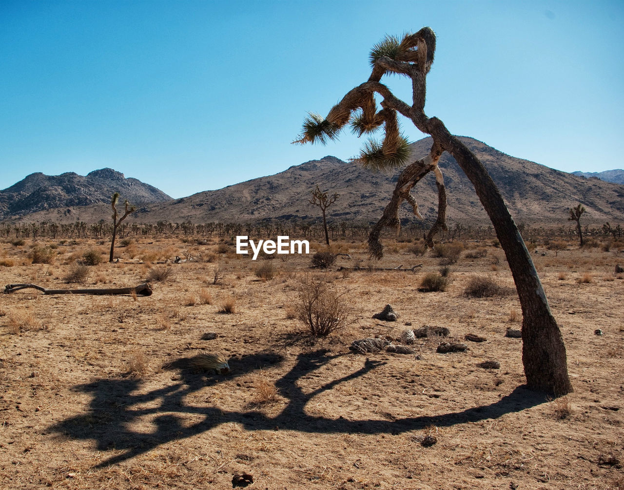 VIEW OF TREE ON DESERT AGAINST CLEAR SKY