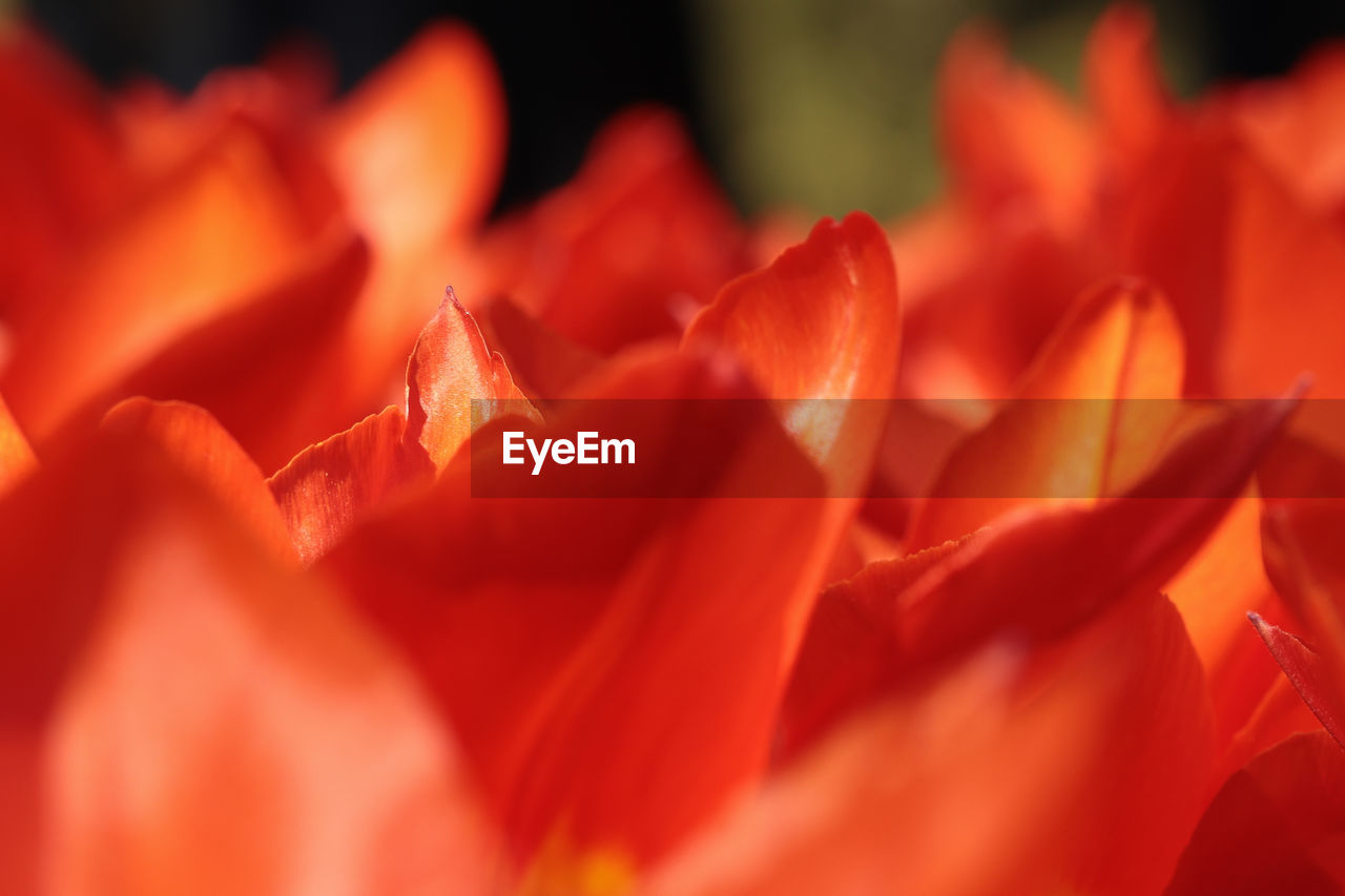 flower, petal, orange color, nature, beauty in nature, flower head, freshness, fragility, red, growth, no people, close-up, plant, backgrounds, blooming, outdoors, day