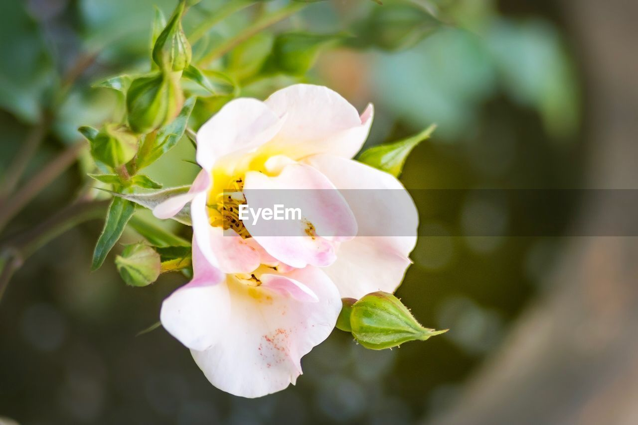 plant, flower, beauty in nature, flowering plant, growth, fragility, vulnerability, petal, freshness, close-up, nature, flower head, inflorescence, day, no people, focus on foreground, white color, leaf, plant part, outdoors, springtime, pollen