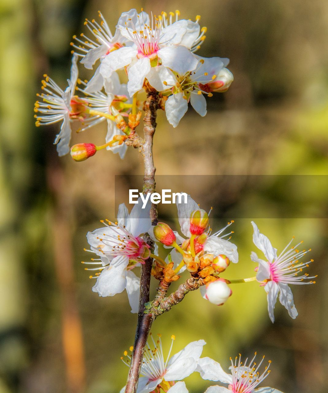 flowering plant, flower, plant, growth, fragility, vulnerability, freshness, beauty in nature, petal, flower head, close-up, focus on foreground, inflorescence, pollen, white color, day, no people, nature, blossom, botany, outdoors, springtime, cherry blossom