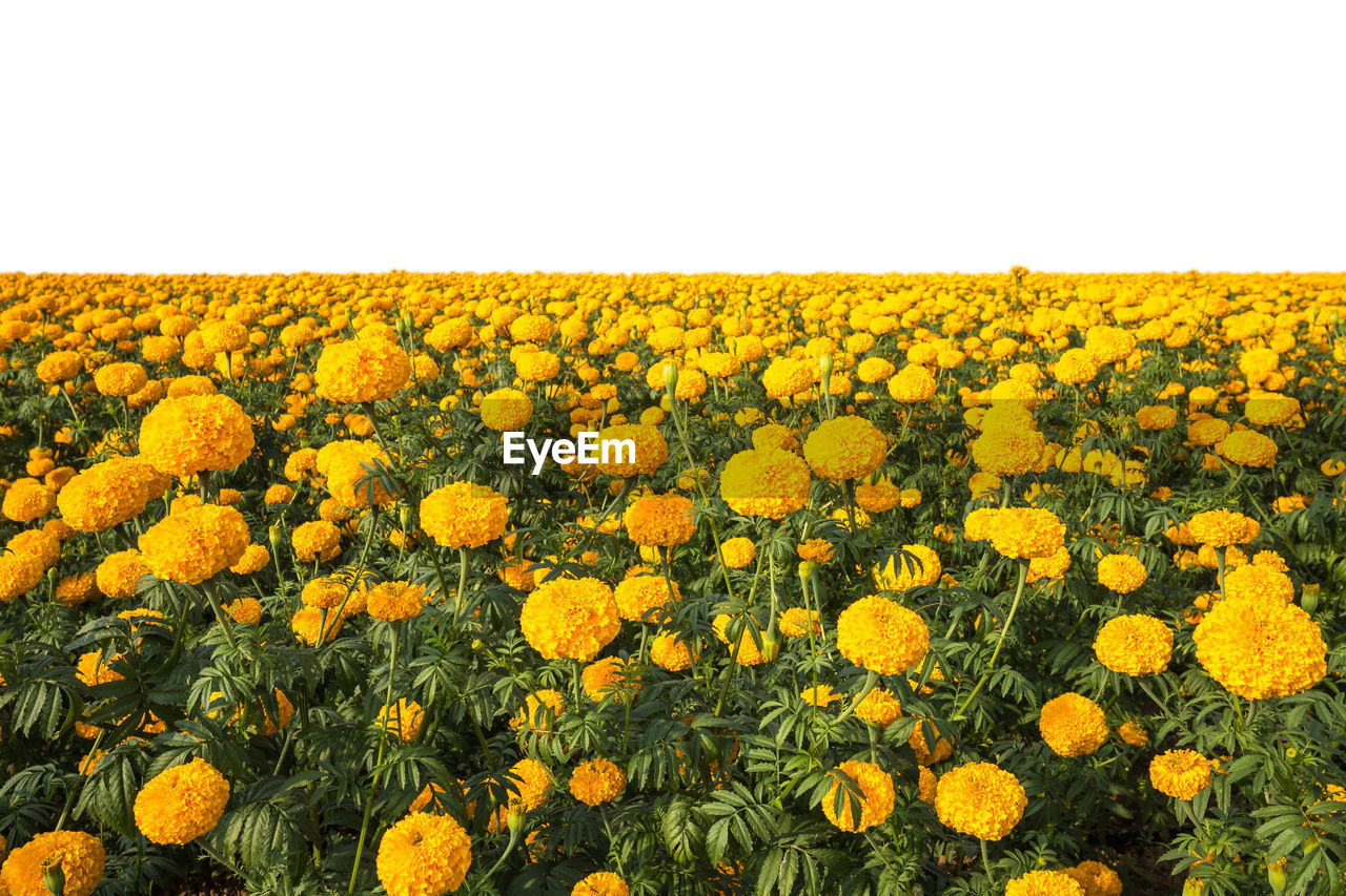 yellow, flower, flowering plant, beauty in nature, plant, freshness, field, growth, landscape, sky, fragility, land, clear sky, nature, flower head, environment, vulnerability, rural scene, agriculture, tranquility, no people, sunflower, outdoors, flowerbed