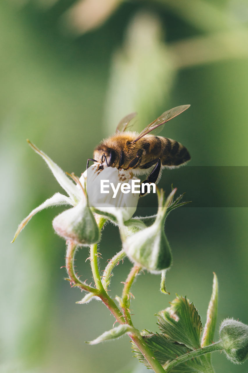 animal wildlife, insect, animals in the wild, plant, animal themes, animal, invertebrate, one animal, close-up, beauty in nature, flower, growth, flowering plant, fragility, vulnerability, nature, bee, green color, no people, petal, flower head, pollination, outdoors, sepal