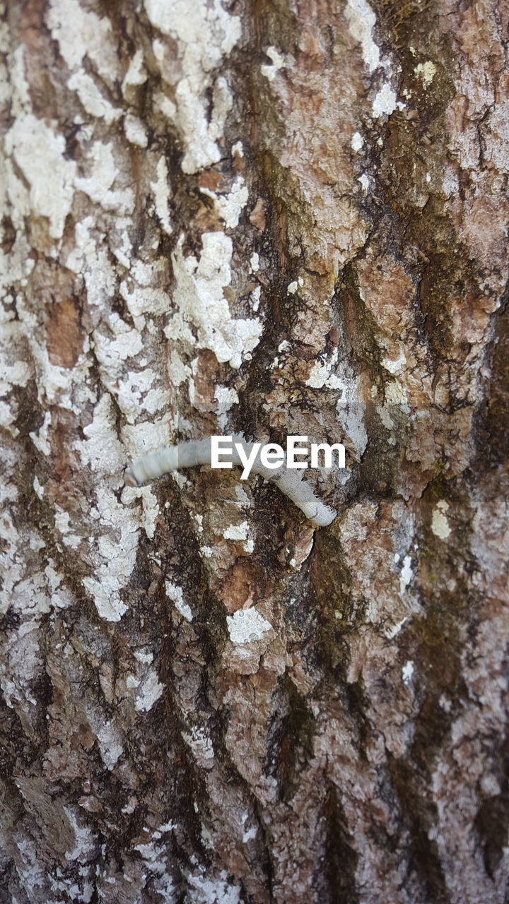 tree trunk, trunk, no people, close-up, textured, tree, animals in the wild, animal wildlife, animal, full frame, backgrounds, nature, animal themes, plant bark, one animal, day, rough, plant, outdoors, invertebrate, bark, lichen