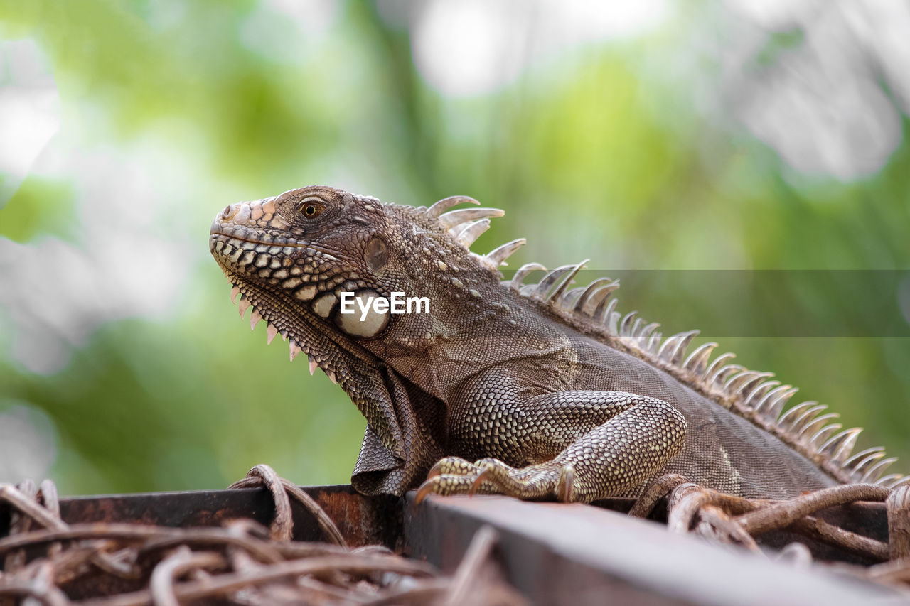 reptile, lizard, animal, animal themes, animals in the wild, one animal, vertebrate, animal wildlife, iguana, bearded dragon, no people, selective focus, close-up, day, focus on foreground, side view, nature, animal body part, looking, outdoors, animal scale, animal head