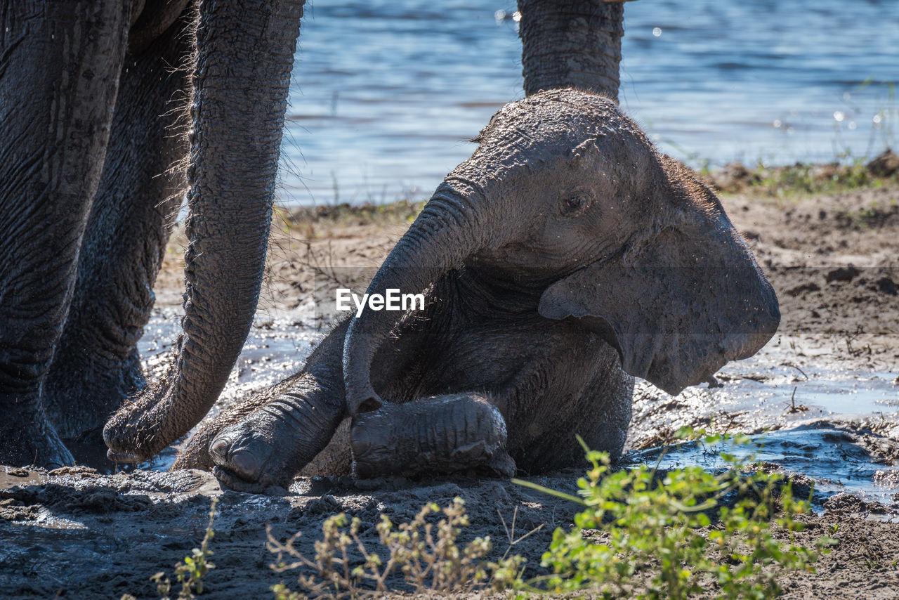 Elephant Calf Relaxing In Mud