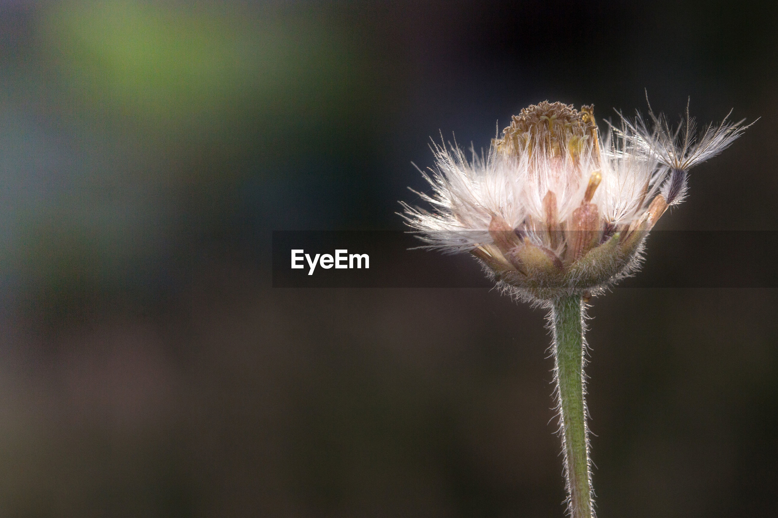 CLOSE-UP OF WILTED DANDELION OUTDOORS