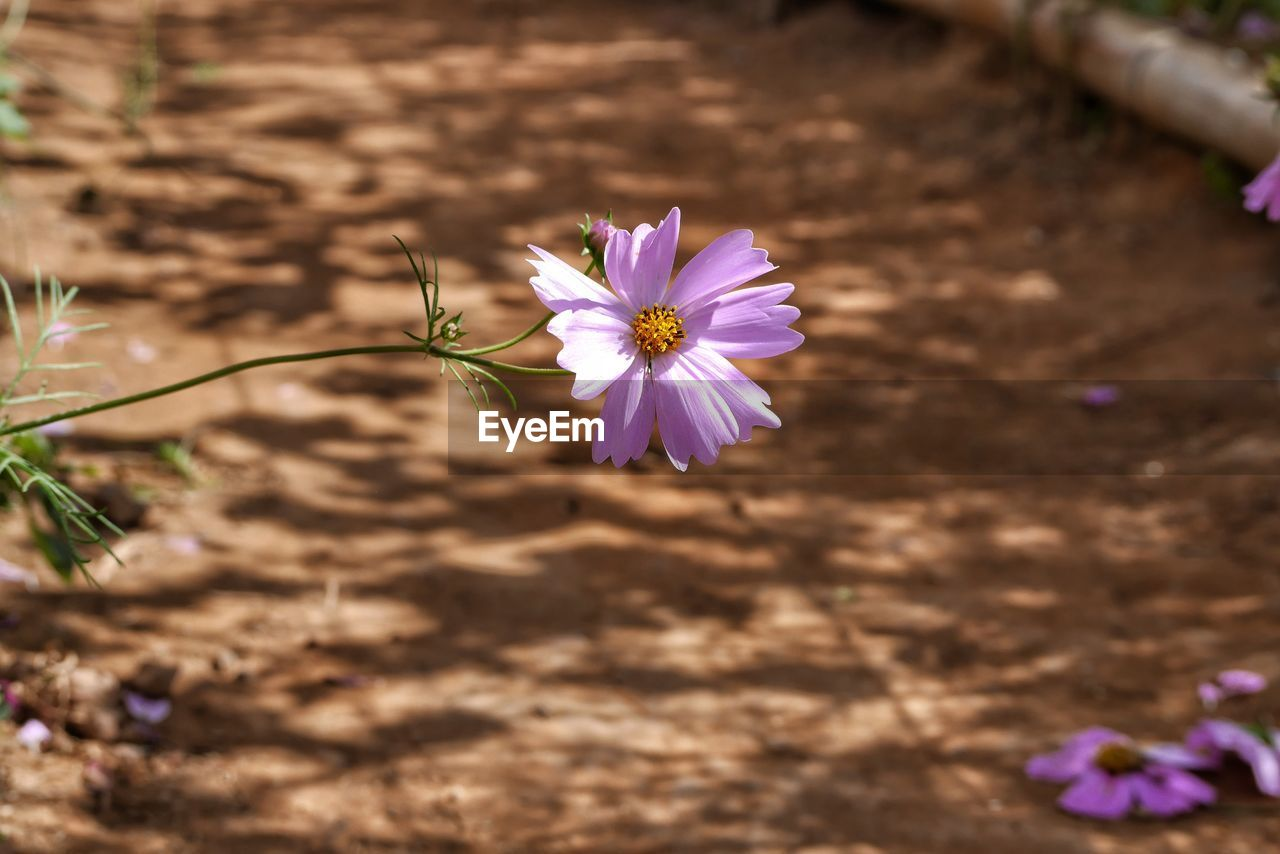 flower, nature, purple, petal, fragility, plant, growth, freshness, beauty in nature, blooming, outdoors, no people, flower head, day, close-up, crocus