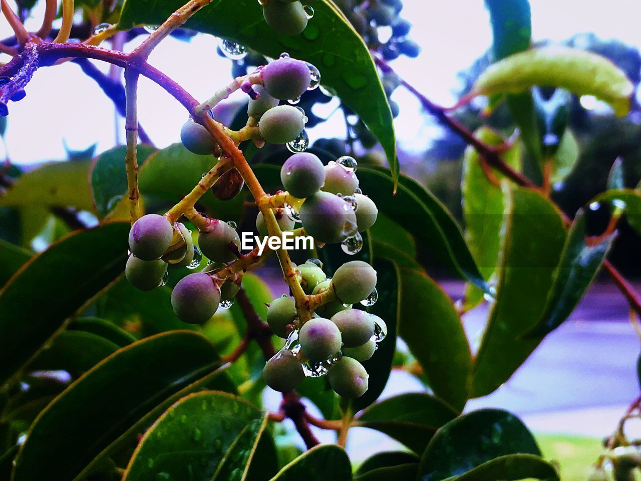 growth, tree, nature, leaf, fruit, plant, food and drink, day, beauty in nature, outdoors, branch, no people, freshness, olive, green color, close-up, low angle view, food, black olive