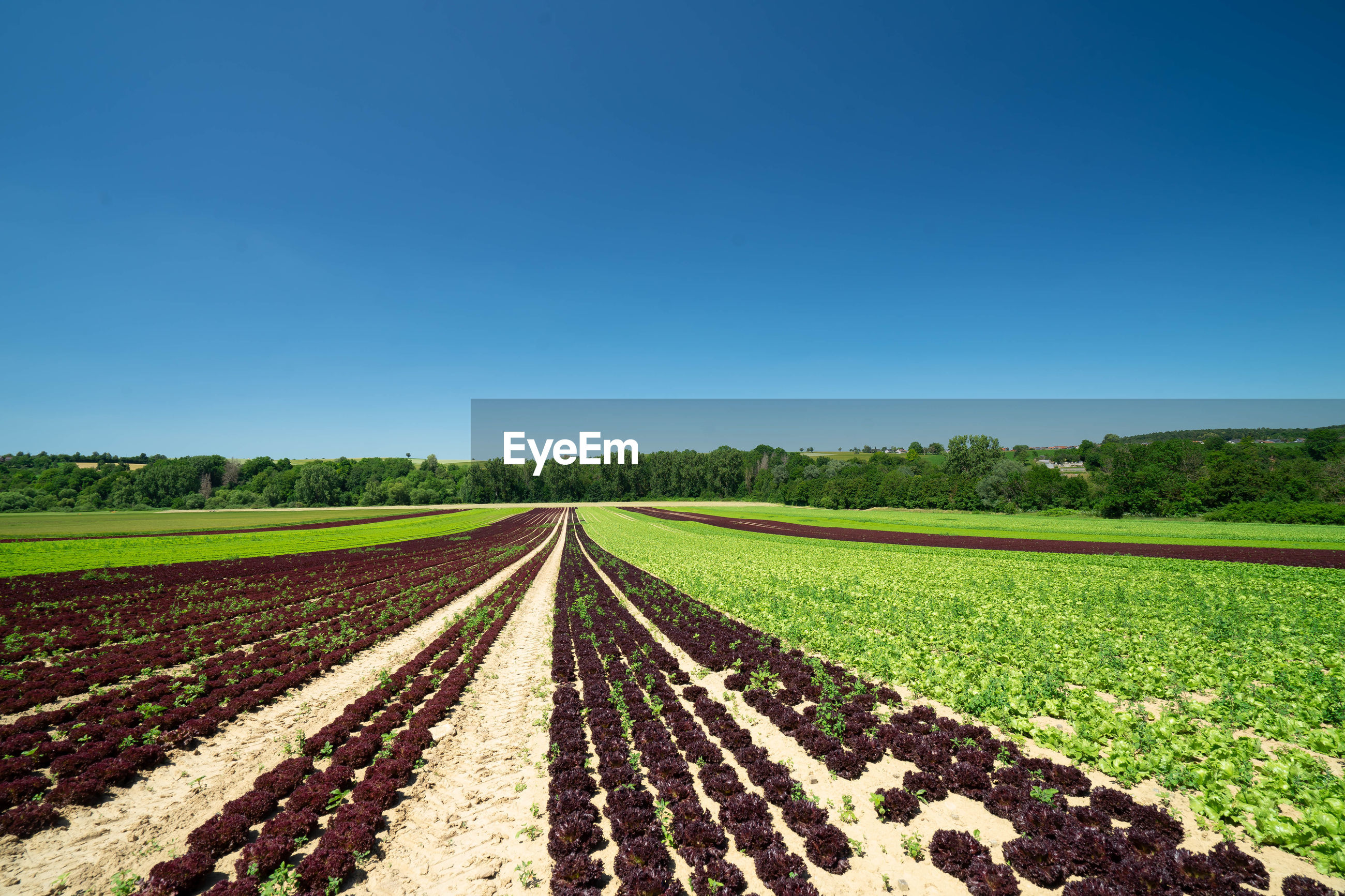 AGRICULTURAL FIELD AGAINST CLEAR BLUE SKY