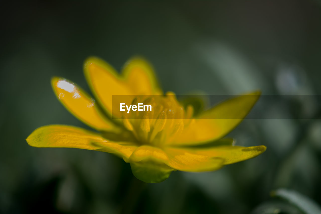 yellow, flowering plant, flower, petal, vulnerability, fragility, beauty in nature, freshness, plant, close-up, growth, inflorescence, flower head, selective focus, no people, focus on foreground, nature, day, outdoors, pollen, soft focus