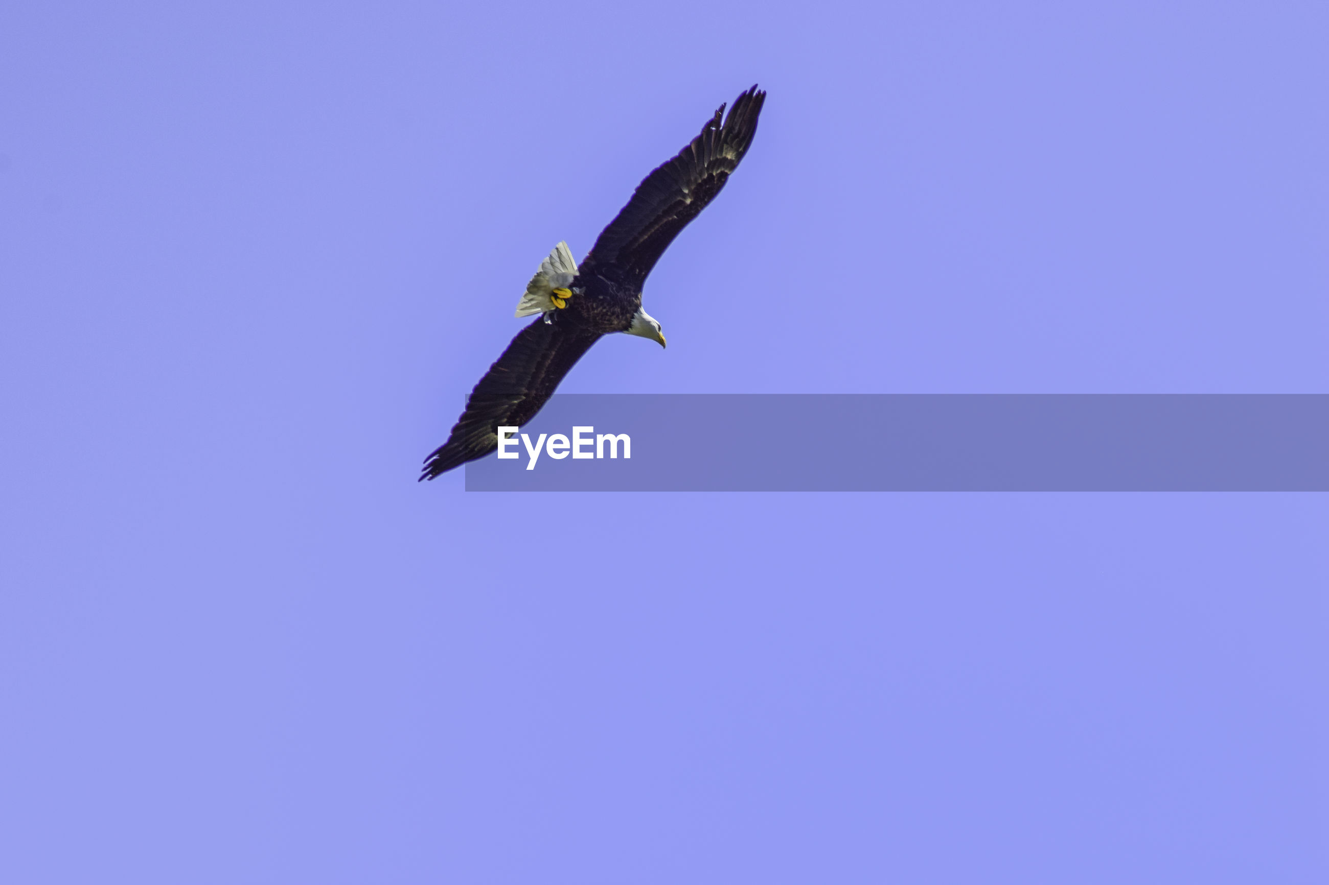 LOW ANGLE VIEW OF EAGLE FLYING AGAINST BLUE SKY