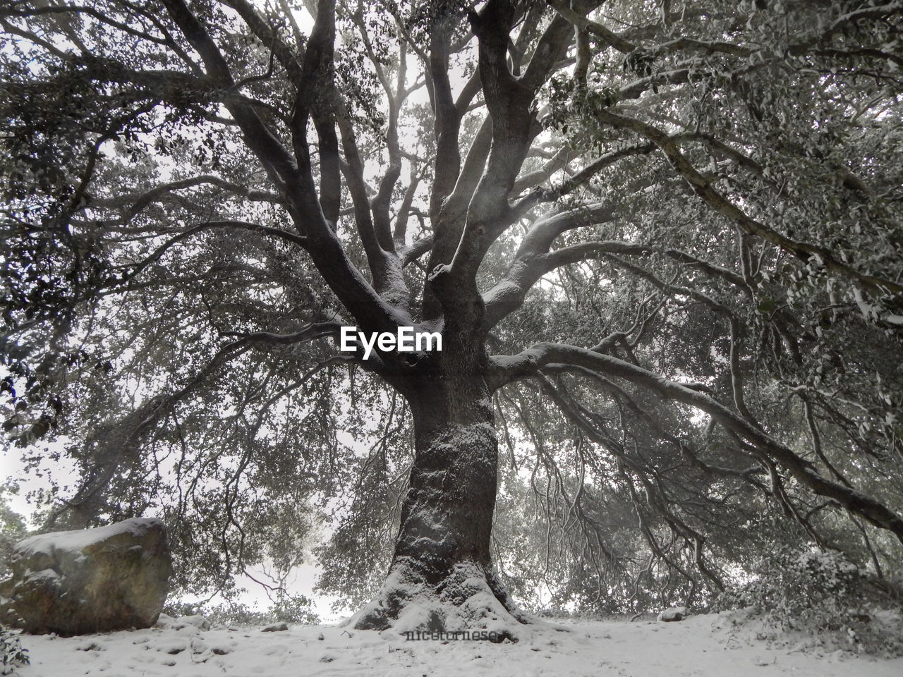 tree, tree trunk, nature, branch, winter, snow, outdoors, day, bare tree, no people, beauty in nature