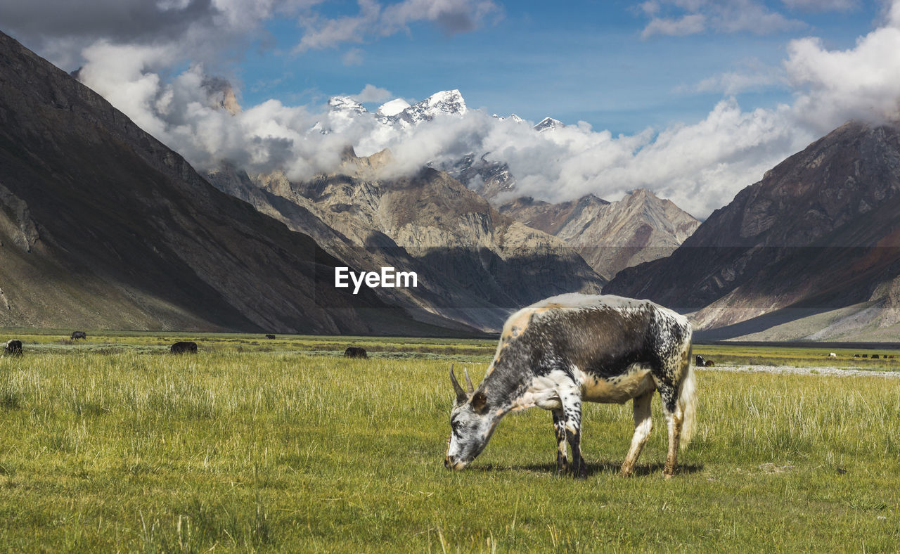 Cow Grazing On Grassy Field By Mountains Against Cloudy Sky