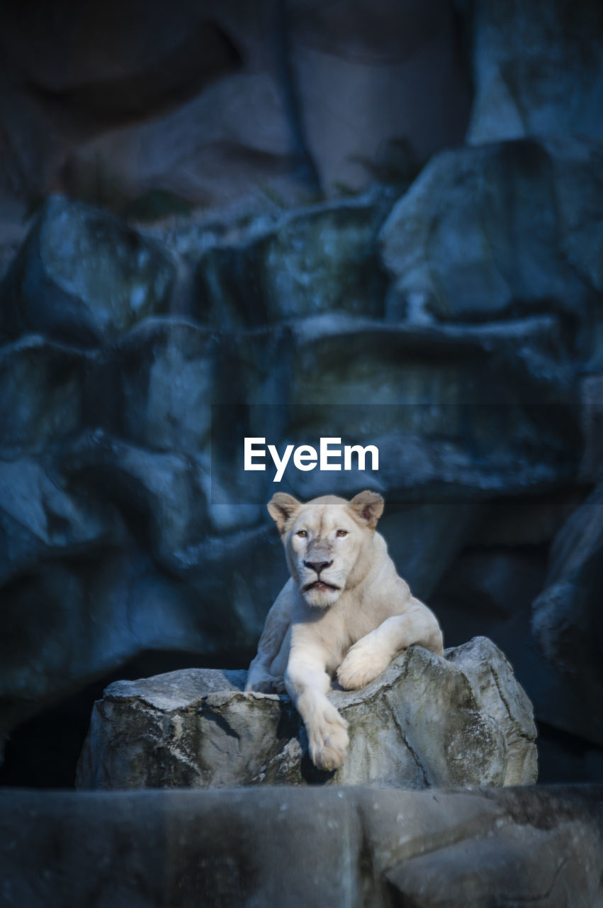Portrait of white lioness in cave at zoo