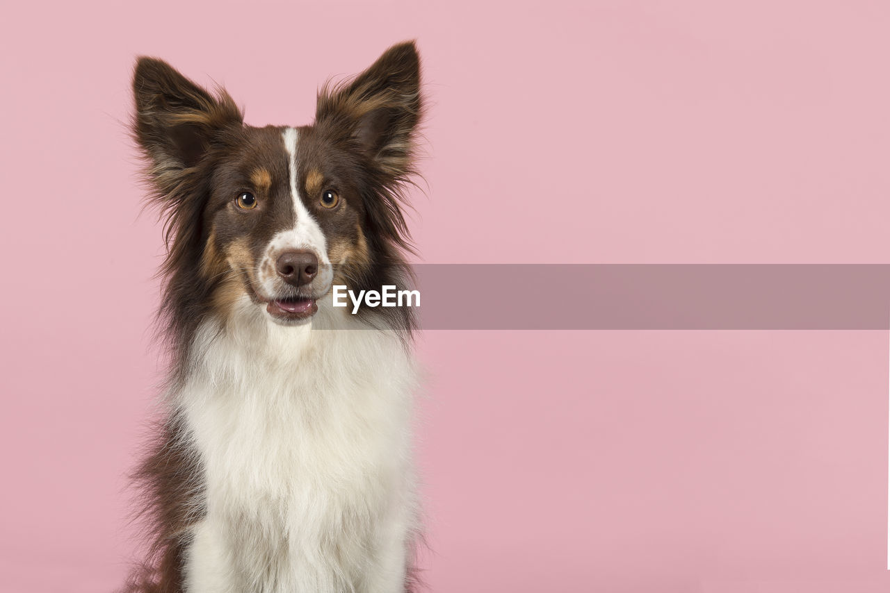 one animal, animal, animal themes, domestic, pets, domestic animals, mammal, dog, colored background, canine, studio shot, looking at camera, portrait, vertebrate, no people, indoors, copy space, pink color, border collie, close-up, animal head