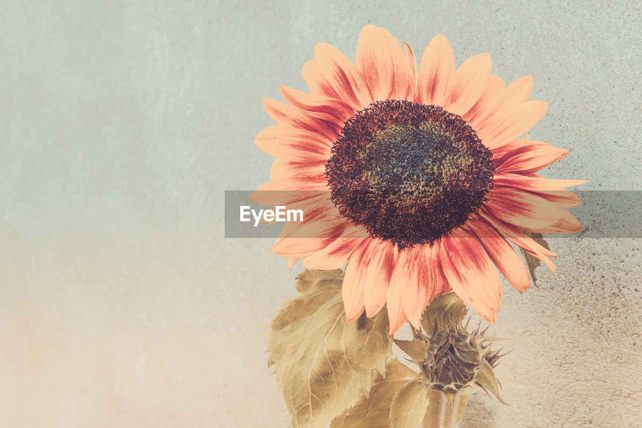 flower, flowering plant, fragility, vulnerability, petal, beauty in nature, plant, flower head, inflorescence, close-up, freshness, growth, nature, pollen, no people, indoors, gerbera daisy, wall - building feature, studio shot, sunflower, wilted plant