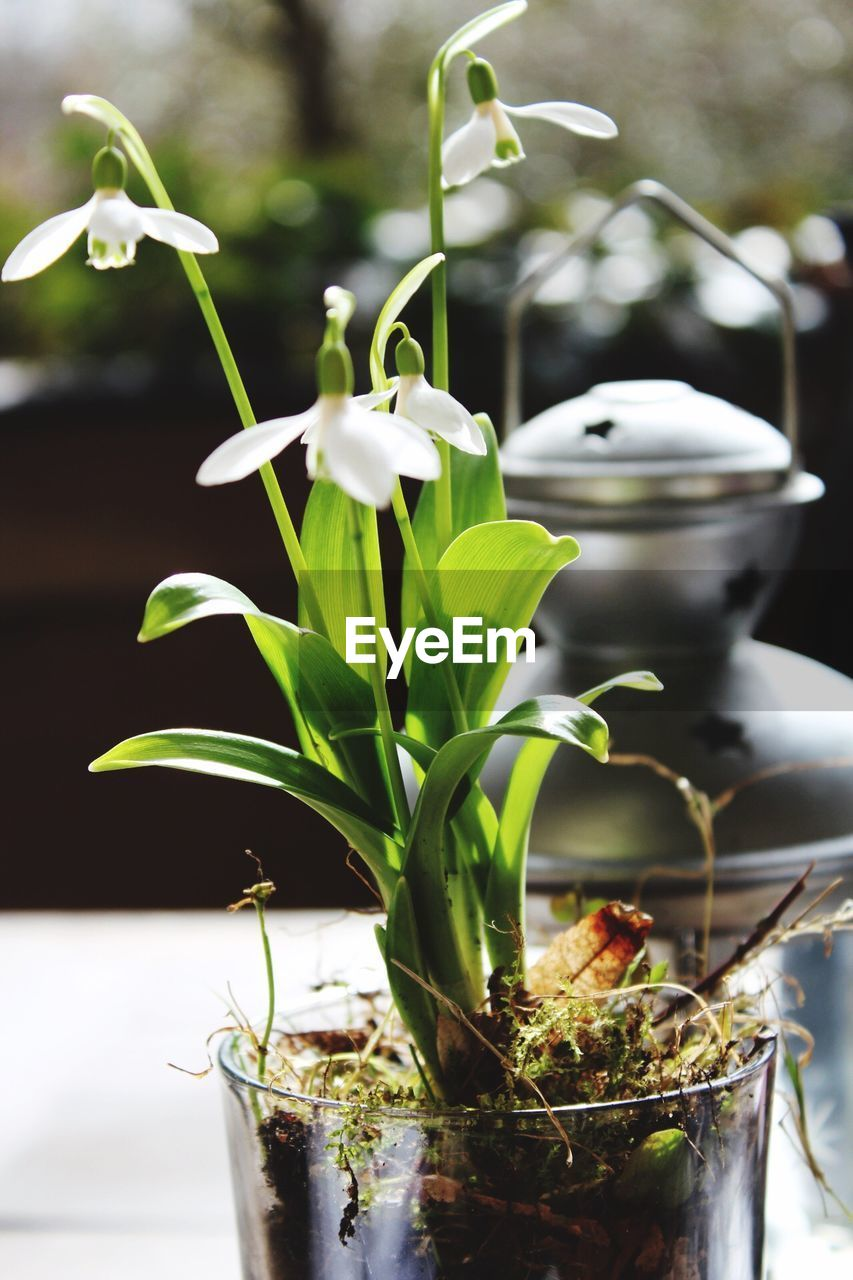 growth, plant, potted plant, no people, freshness, green color, nature, close-up, leaf, fragility, day, indoors, beauty in nature, flower