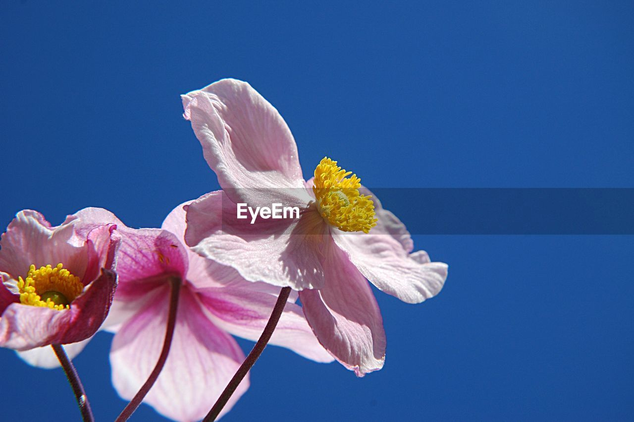 flowering plant, flower, plant, petal, beauty in nature, fragility, vulnerability, freshness, sky, pink color, growth, copy space, nature, clear sky, close-up, inflorescence, flower head, blue, low angle view, day, no people, outdoors, pollen, springtime, sepal